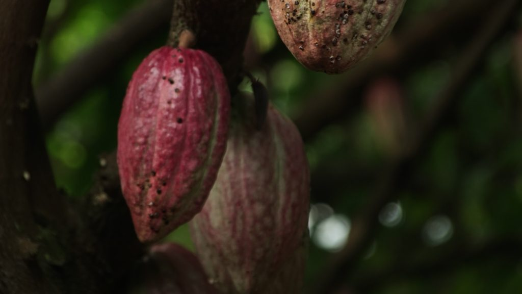 Cacao pods hanging on a cacao tree